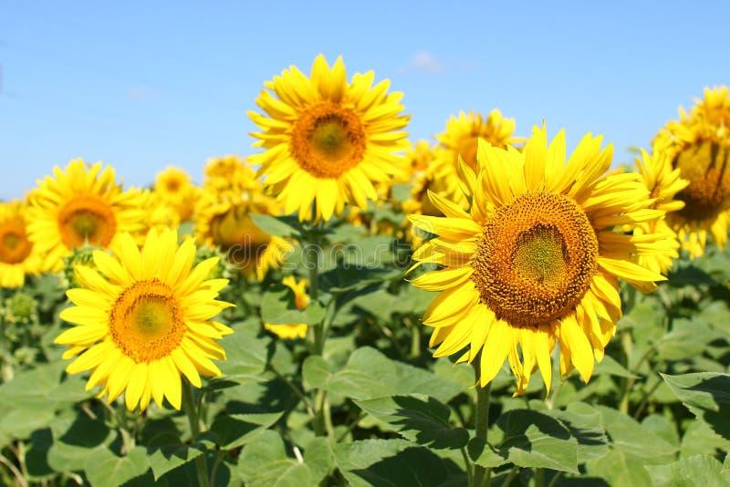 Champ des tournesols sous le ciel bleu clair et le soleil lumineux Région de Kirovograd, Ukraine photographie stock libre de droits