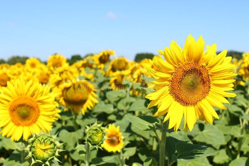 Champ des tournesols sous le ciel bleu clair et le soleil lumineux Région de Kirovograd, Ukraine image stock