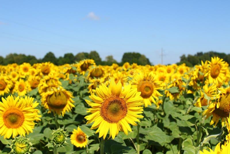 Champ des tournesols sous le ciel bleu clair et le soleil lumineux Région de Kirovograd, Ukraine photographie stock