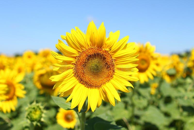 Champ des tournesols sous le ciel bleu clair et le soleil lumineux Région de Kirovograd, Ukraine image libre de droits