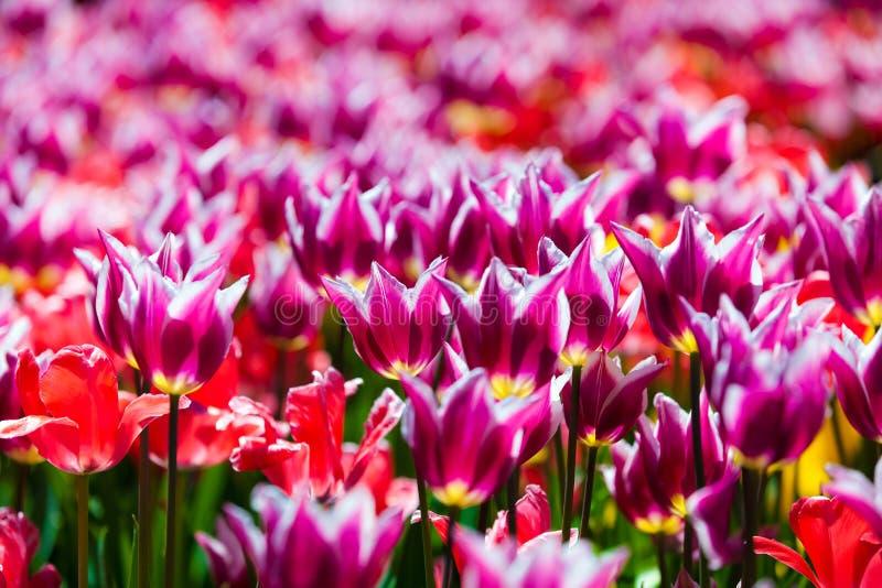 Download Champ des tulipes image stock. Image du rouge, floraison - 77159897