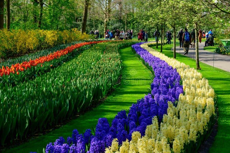 Champ des tulipes color?es en Hollande, fleurs de printemps dans Keukenhof photos libres de droits