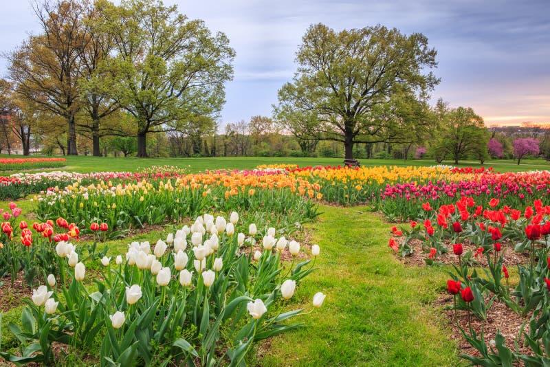 Champ des tulipes de floraison de ressort photos stock
