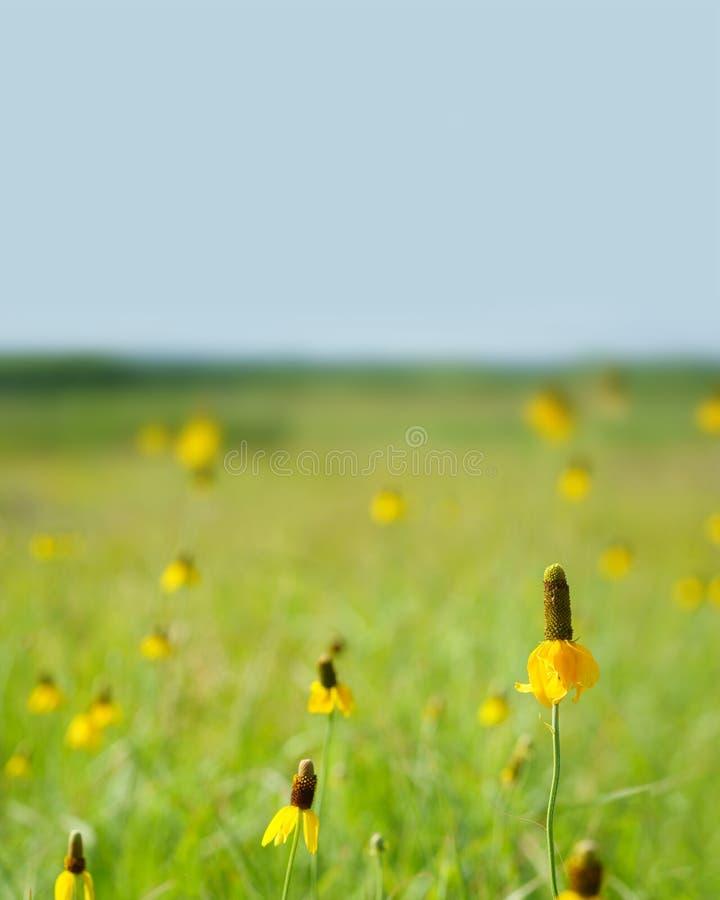 Champ des wildflowers jaunes photographie stock libre de droits