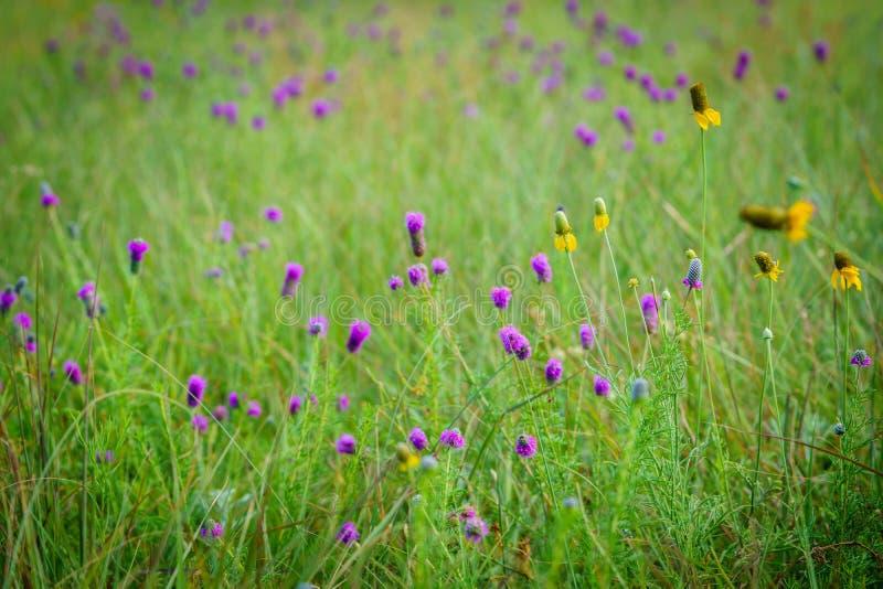 Champ des wildflowers pourpres et jaunes images libres de droits