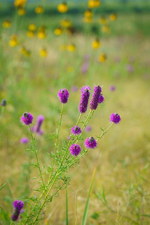 Champ des wildflowers pourpres et jaunes photo libre de droits