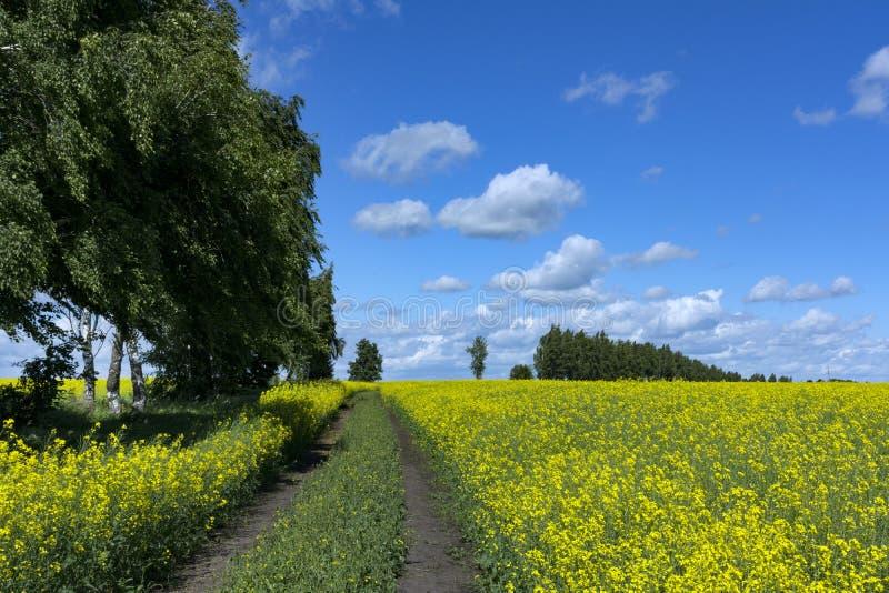 Champ du canola fleurissant, chemin dans le domaine, arbres le long de la PA image libre de droits