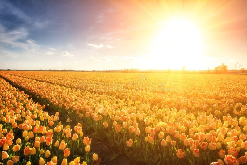 Champ ensoleillé de tulipe aux Pays-Bas, paysage rural de ressort néerlandais traditionnel photos libres de droits