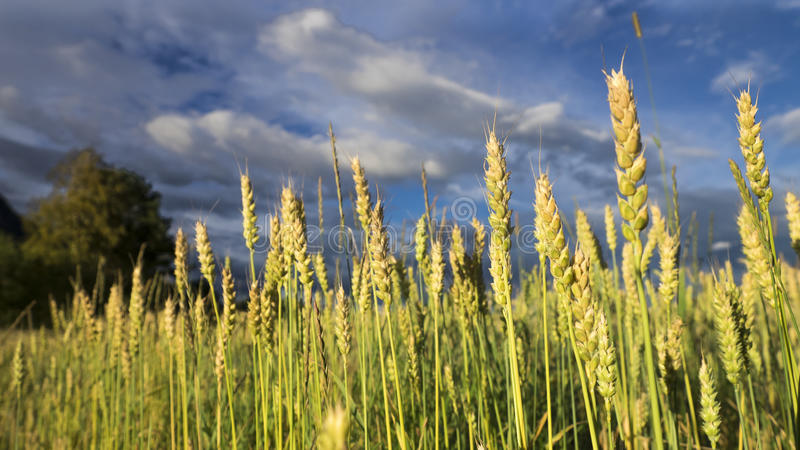 Champ et ciel de blé photographie stock libre de droits