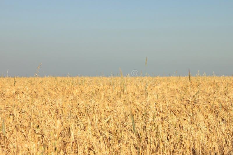 Champ et ciel de blé de photos dans la forme et la couleur du drapeau ukrainien photographie stock