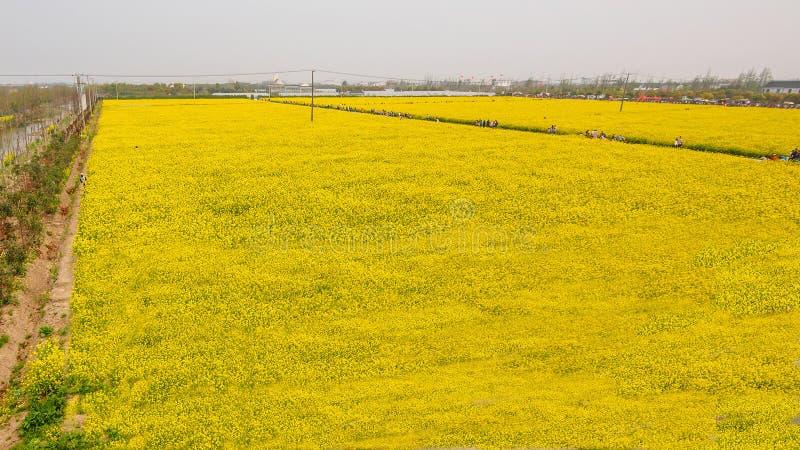 Champ jaune complètement de graine de colza (napus de brasica) photos libres de droits