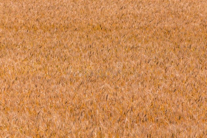 Champ jaune d'orge à la journée sous la lumière du soleil directe Fond et texture entièrement remplis d'agriculture image libre de droits