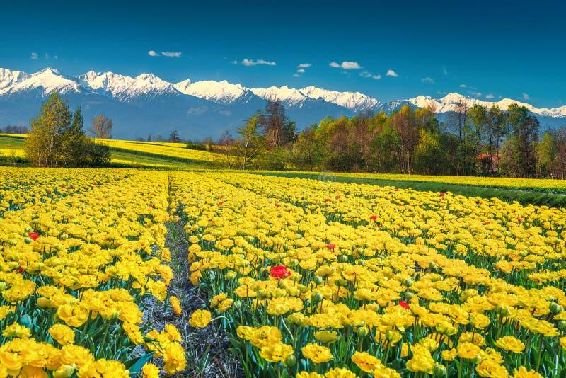 Champ jaune de tulipe et hautes montagnes neigeuses, Carpathiens, la Transylvanie, Roumanie photographie stock