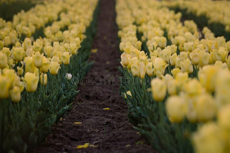 Champ jaune de tulipes Ressort fleurissant Souffle de ressort photographie stock
