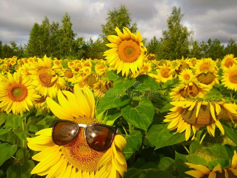 Champ jaune des tournesols dans la perspective des arbres dans la République du Tatarstan photographie stock libre de droits