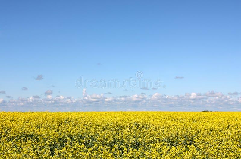 Champ jaune fleurissant et ciel bleu photo stock