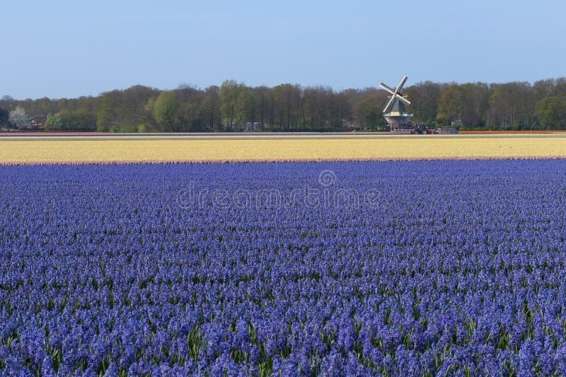 Champ néerlandais traditionnel de jacinthe avec des fleurs pourpres et un moulin à vent à l'arrière-plan images libres de droits