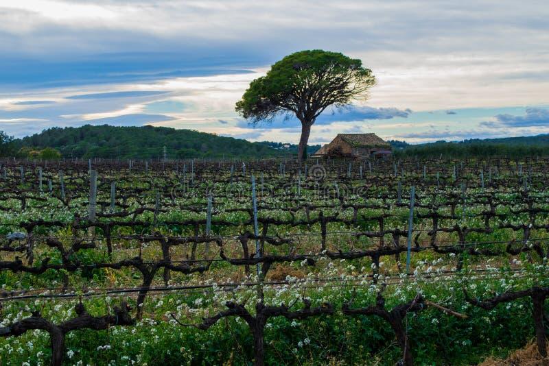 Champ ressort de vignes de premier en Espagne, arbre isolé avec la vieille maison, secteur de raisin de cuve images libres de droits