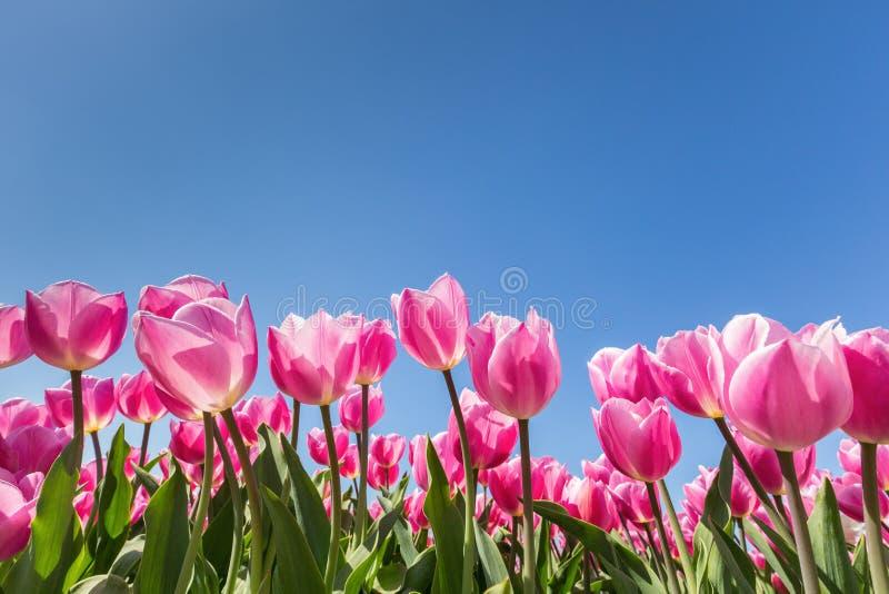Champ rose de tulipes avec le ciel bleu photographie stock