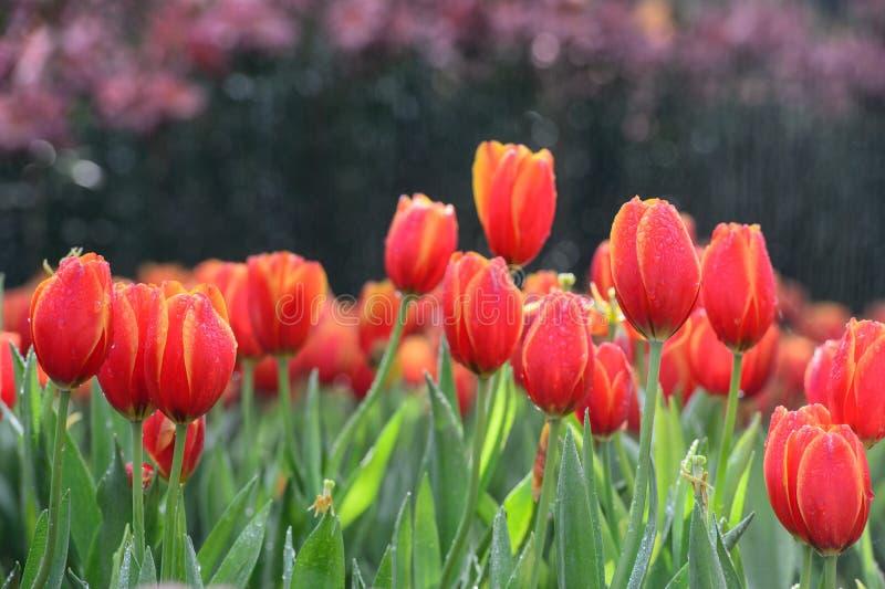 Champ rouge de tulipe image stock