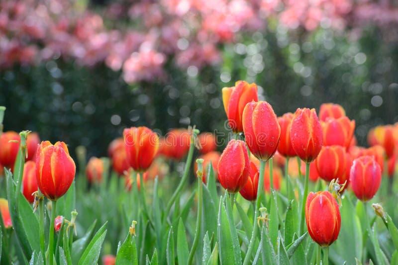 Champ rouge de tulipe image libre de droits
