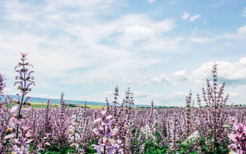 Champ scénique d'été de sauge rose et de ciel nuageux bleu photos stock