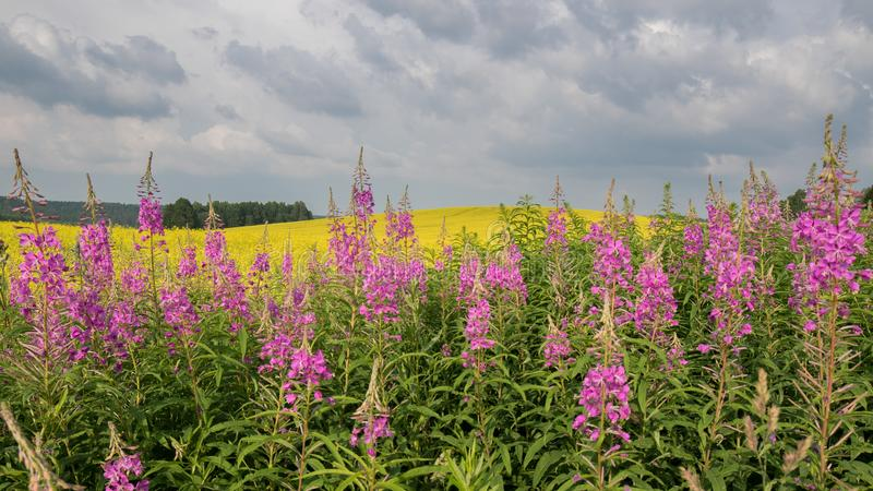 Champ se développant coloré de jaune Paysage d'été avec des nuages d'orage images libres de droits