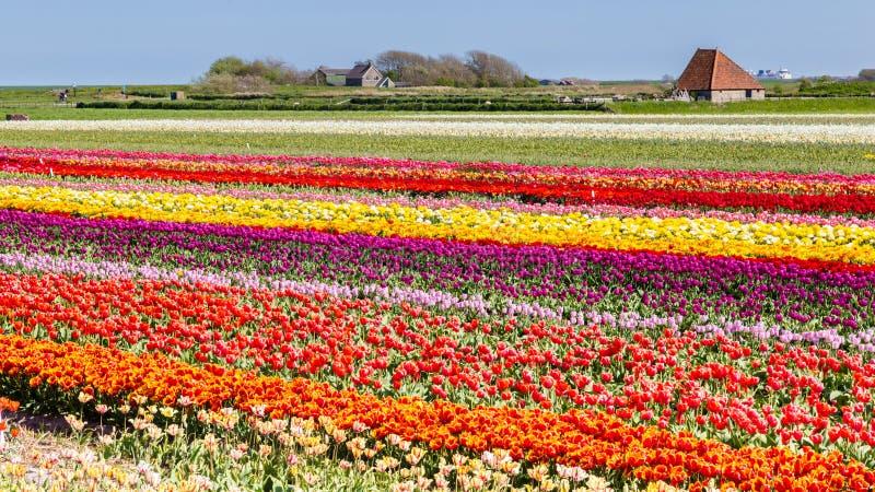 Champ Texel, Pays-Bas de tulipes image stock