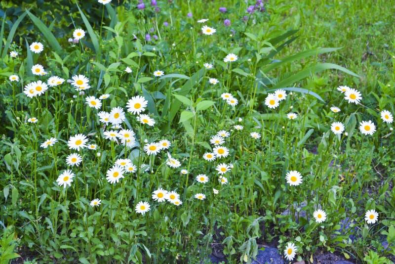 Champ vert avec le sort de fleurs blanches de marguerite dans le dessus en bas de la vue sur l'herbe vibrante de ressort photo stock