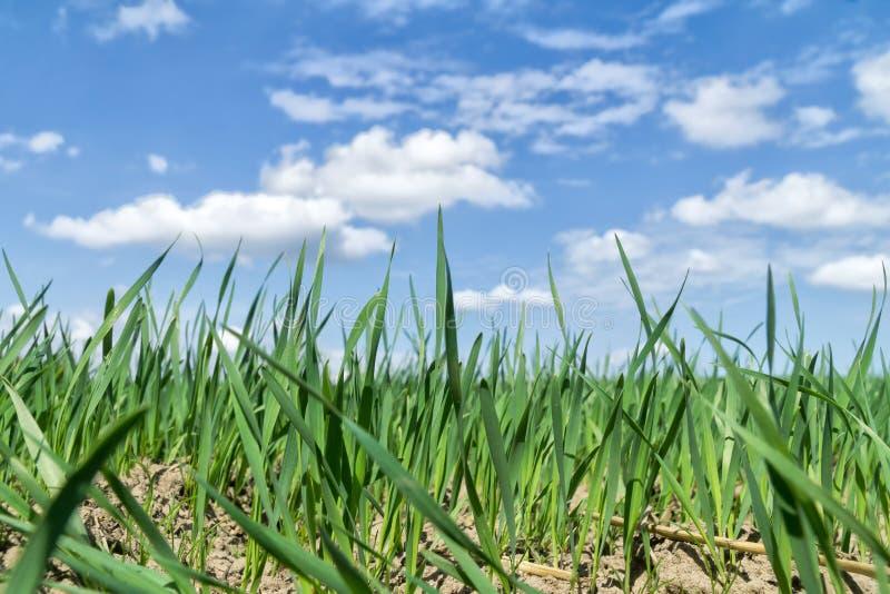 Champ vert contre le ciel bleu avec les nuages blancs, paysage de ressort photo libre de droits