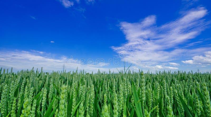 Champ vert de blé de germination sous les cieux bleus photographie stock libre de droits