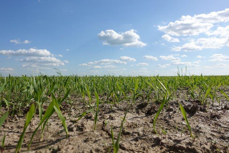 Champ vert de germe de blé L'image rame de jeunes, juste poussées usines dans la terre fertile foncée du soleil éclairé photo libre de droits