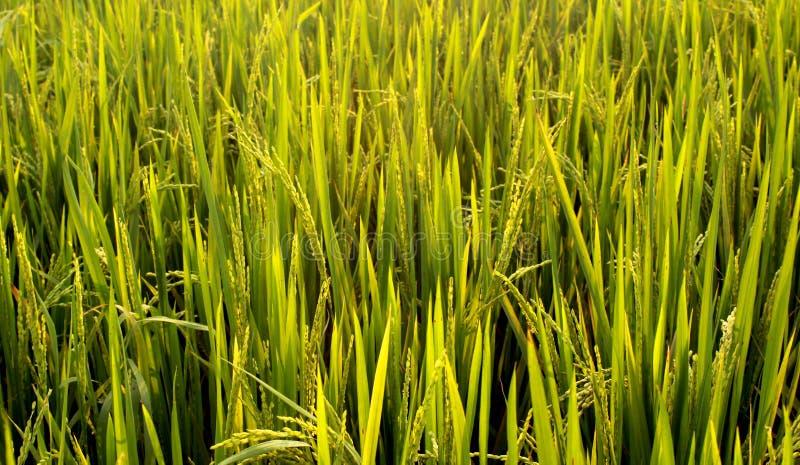 Champ vert de riz avec des groupes de jeunes de riz image libre de droits