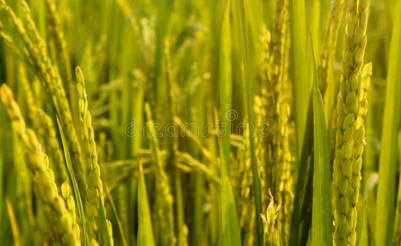 Champ vert de riz avec le groupe de jeunes de riz image stock