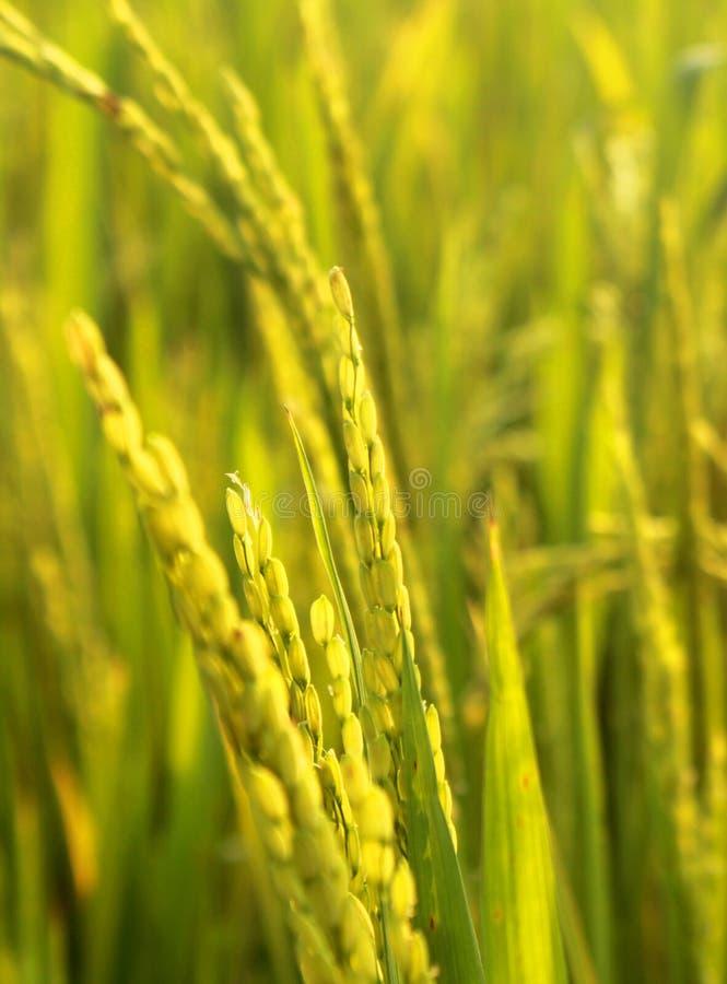 Champ vert de riz avec le groupe de jeunes de riz image libre de droits