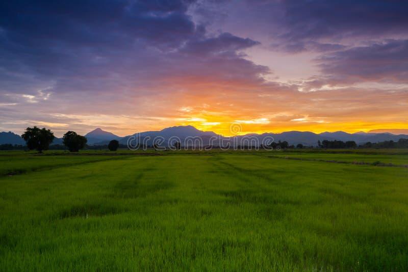 Champ vert de riz de ferme avec le fond de montagne photo libre de droits