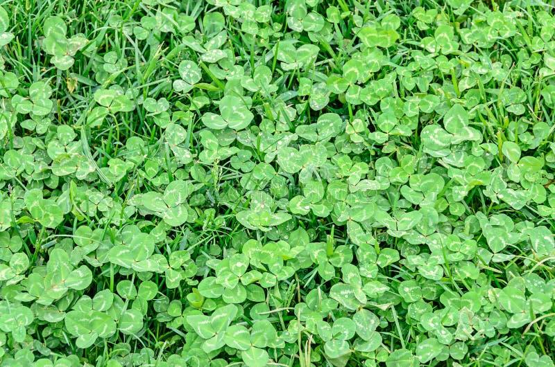 Champ vert de trèfle ou minette, fond et texture photographie stock