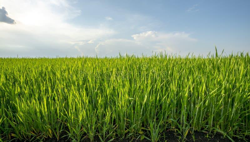 Champ vert des cultures de grain contre le ciel bleu avec des nuages illuminés par les rayons du coucher du soleil photographie stock