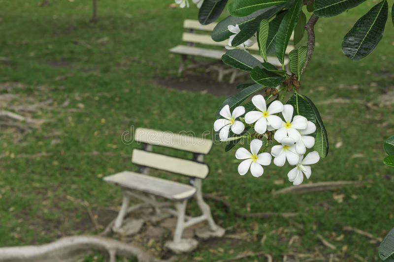 Champa flowers with white bench. Beautiful Champa flowers bloom with green grass and benches for people to sit and relax stock photos