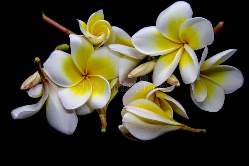Champa kwiaty zdjęcia royalty free
