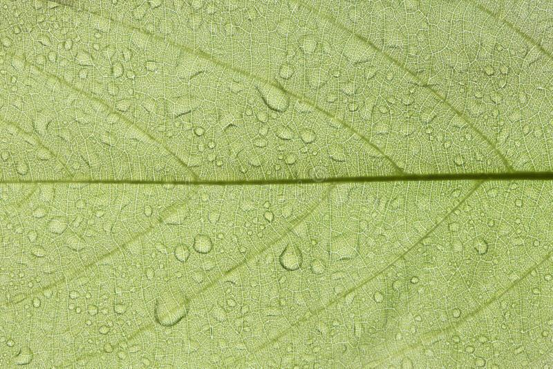 Champaca-Blatt lizenzfreies stockbild