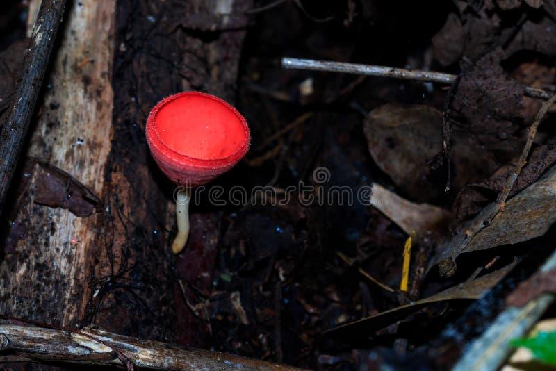 Champagne Mushroom Tarzetta Rosea (Rea) Dennis arkivfoto