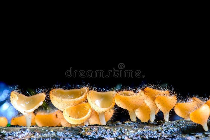 Champagne Mushroom Tarzetta Rosea (Rea) Dennis royaltyfria bilder