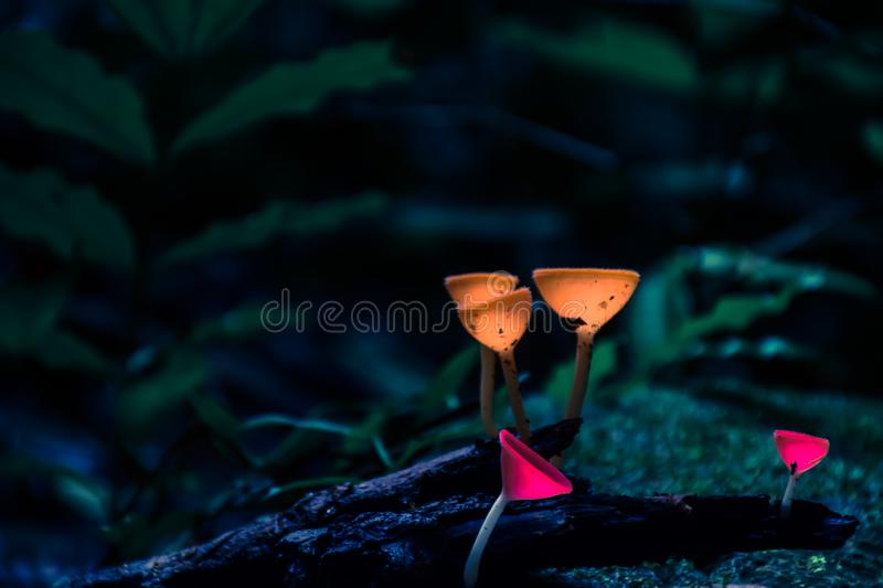 Champagne mushrooms in the forest. stock photo