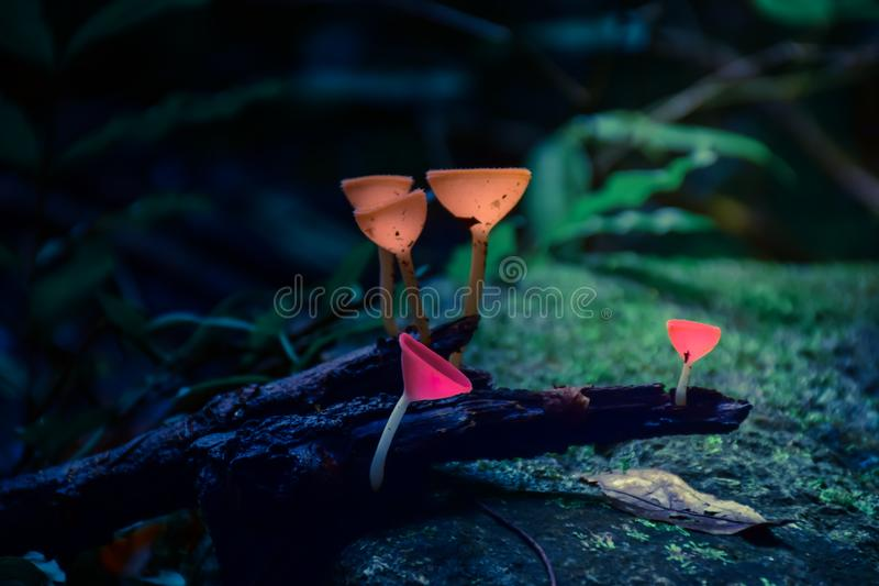 Champagne mushrooms in the forest. stock photos