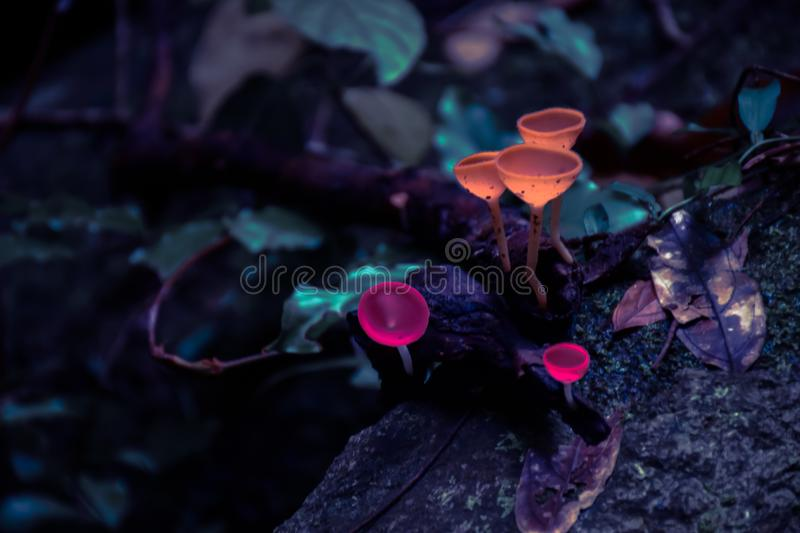 Champagne mushrooms in the forest. royalty free stock images