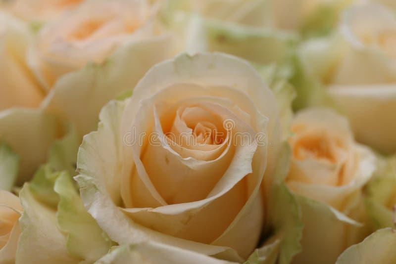 Champagne Rose in Tuin stock fotografie