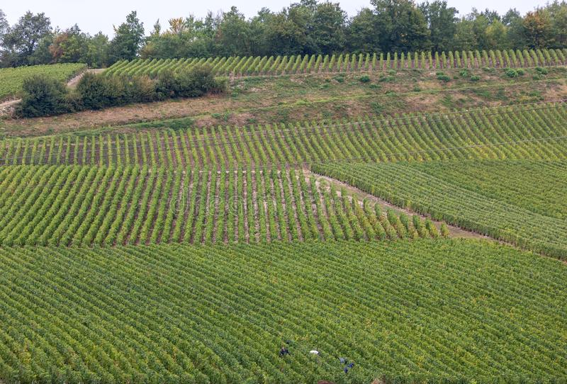 Champagne vineyards in the Cote des Bar area of the Aube department. stock photography