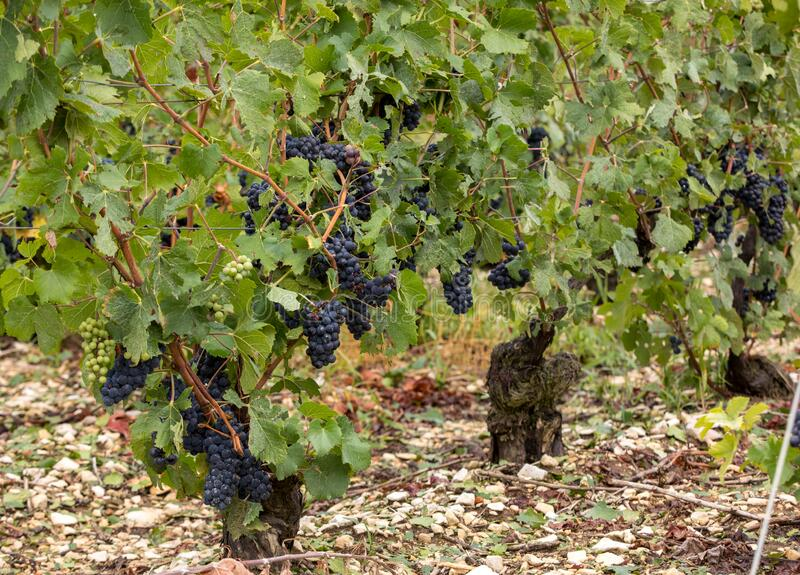 Champagne vineyards in the Cote des Bar area of the Aube department. royalty free stock photos
