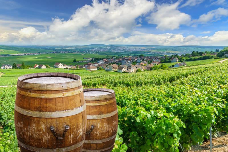 Champagne vineyards with old wooden barrel on row vine green grape in champagne vineyards background at montagne de reims royalty free stock images